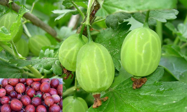 Cel mai puternic fruct din lume ! Este plin de antioxidanți și are de 20 de ori mai multă vitamina C decât sucul de portocale !