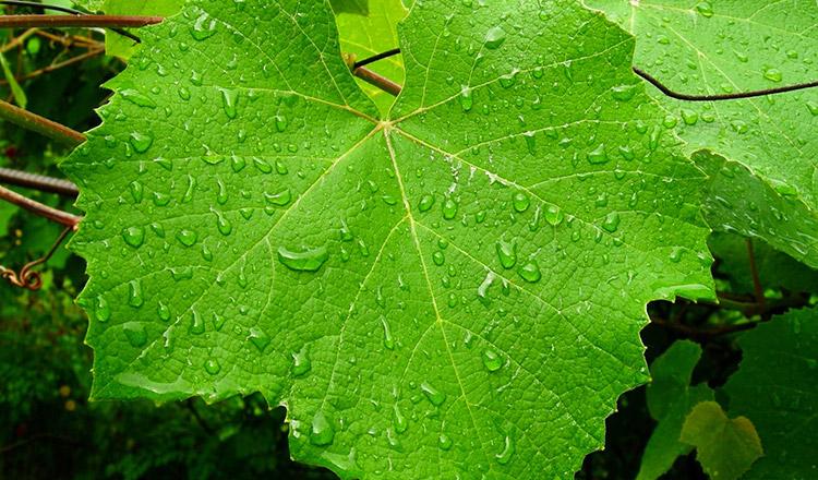 Modul CORECT de a consuma frunze de viță de vie pentru vindecarea corpului!