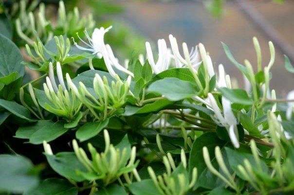 Planta care aduce bunastare si ofera protectie casei, avand totodata si proprietati tamaduitoare